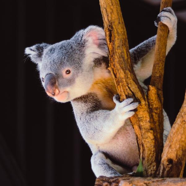 baby koala looks curious